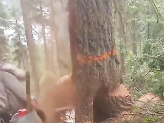 This is why rotting dead trees are dangerous.  No easy safe way to take them down