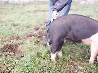Farmer workshop on how to straighten pig's tail