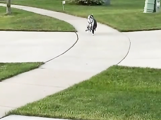 """This dog is very proud to be """"Holding"""" the leash"""