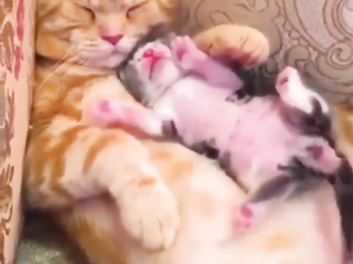 Kitten taking a nap with his mom.