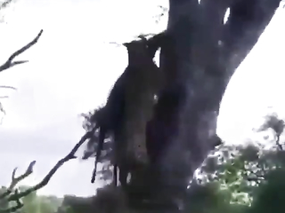 That cheetah just walked 100lbs up a tree.