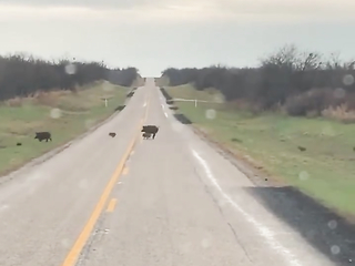 A large family of wild boars are crossing the road.