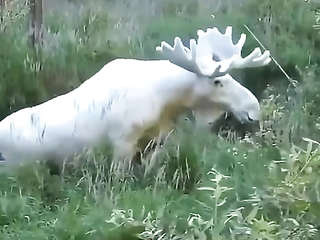 A snow-white albino moose accidentally photographed in the forests of Sweden.