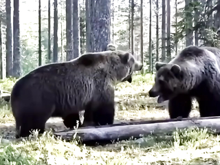 Hard showdown between two bears in the forest