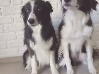 The Amazing Thing is that No Dogs Has Even Looked at the Toy. funny video