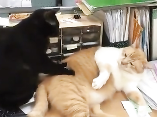 Tender, slave! funny cats video
