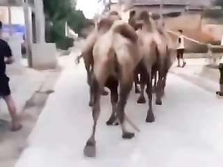Don't overtake a camel from Wrong Side.