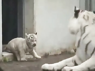 Baby tiger sneaks up on its mom.