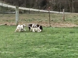 Team work, Dogs Playing with Wooden stick.