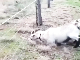 The goat got electrocuted shock =)