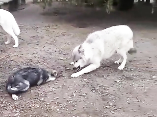 Thats an adult wolf putting a young wolf in its place....