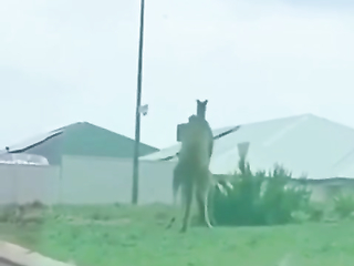 Typical Australian MMA Fight between two kangaroo..