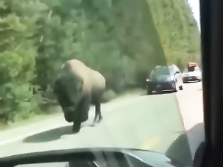 Normal decision, the glass is tinted and the bison does not see lol.