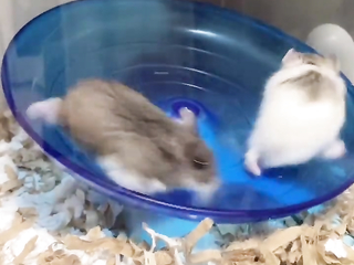 Like Humans in their daily life! Fast and furious  hamsters