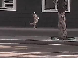 A dog Pretending to be Human.