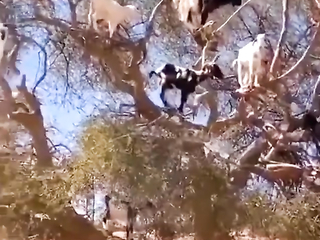 They say money don't grow on trees. BUT GOATS DO BWAAAAH